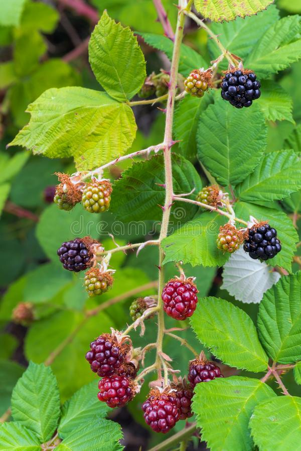Blackberry Bush with Berries. Himalayan Blackberry Bush Plant with berries fruit and leaves in summer royalty free stock photos