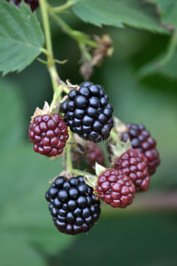 Blackberry Bush com bagas foto de stock