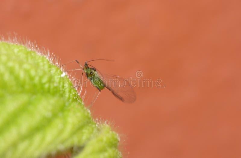 Blackberry Bush com os afídios verdes da mosca Ascendente próximo do macro imagens de stock