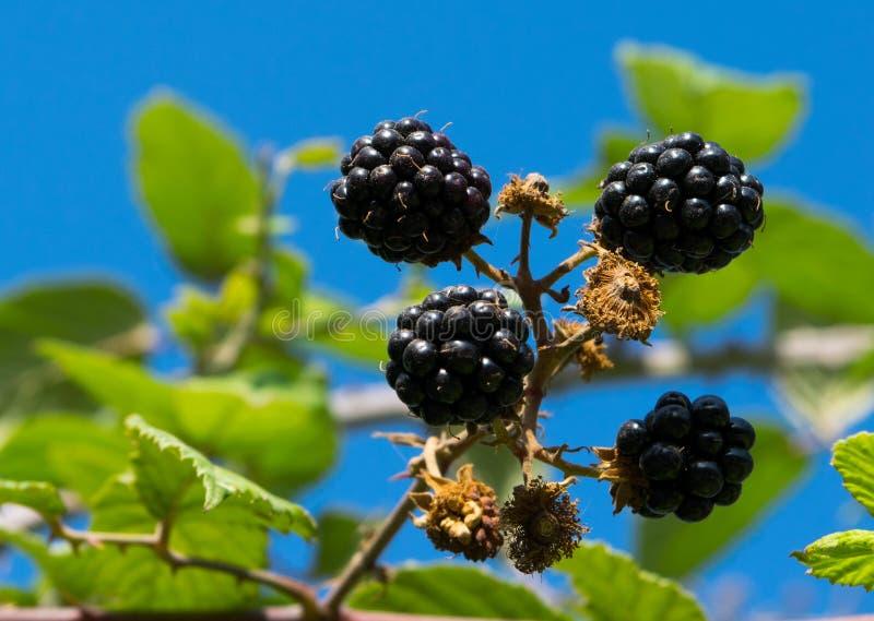 Blackberry bush in the garden, blue sky on background stock image