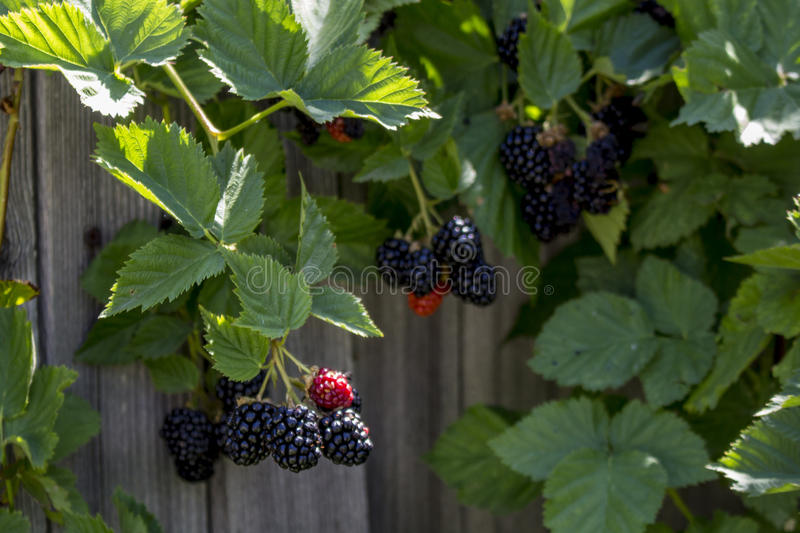 Blackberry Bushes. Close-up photograph of blackberries growing in a garden stock images