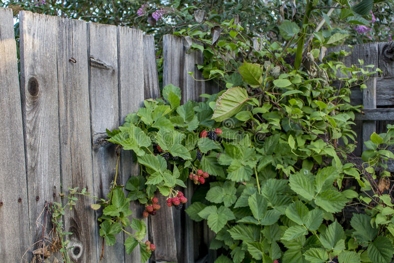 Blackberry Bushes. Photograph of blackberries growing in a garden royalty free stock image