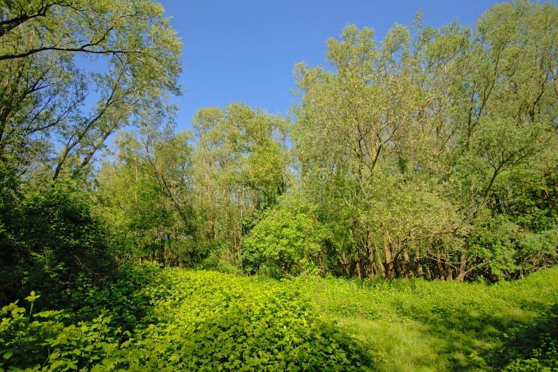 Blackberry buskar och träd i den flemish bygden arkivfoto