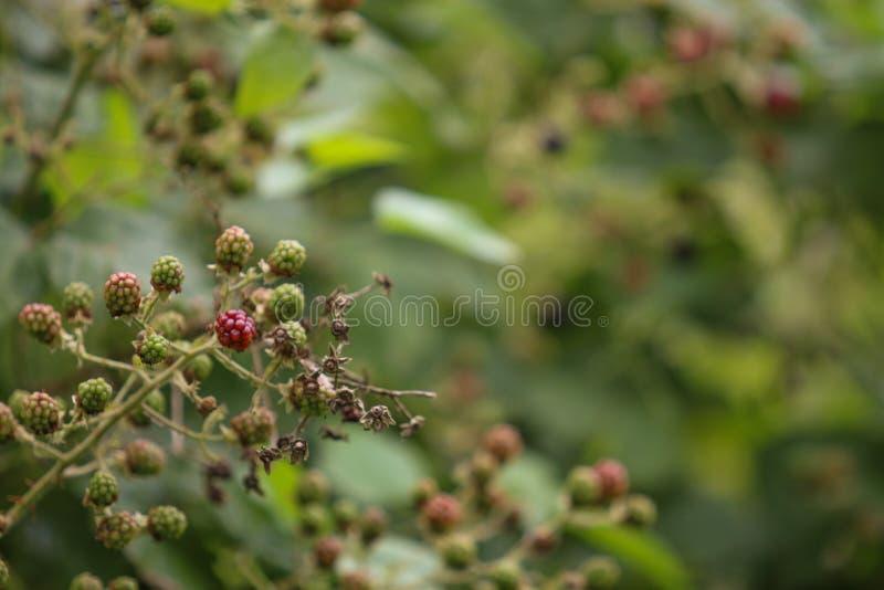Blackberry buske royaltyfri fotografi