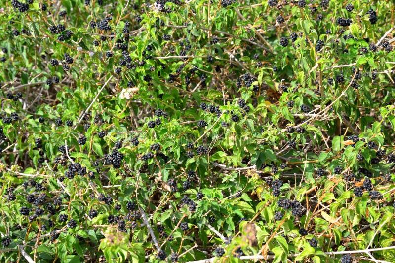 Blackberry buske bakgrund royaltyfri foto