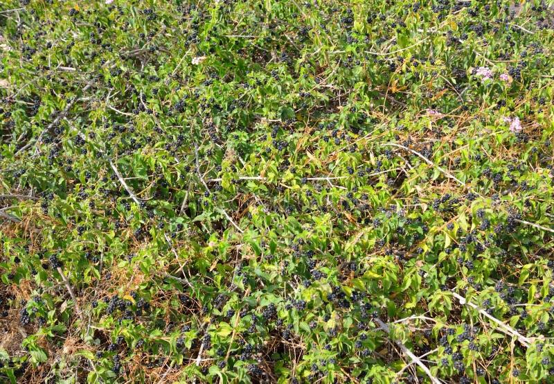 Blackberry buske bakgrund royaltyfri fotografi