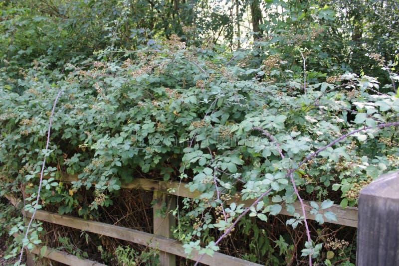Blackberry buske blomma fotografering för bildbyråer