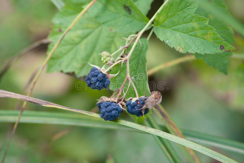 Blackberry en insect Wilde bes stock foto's