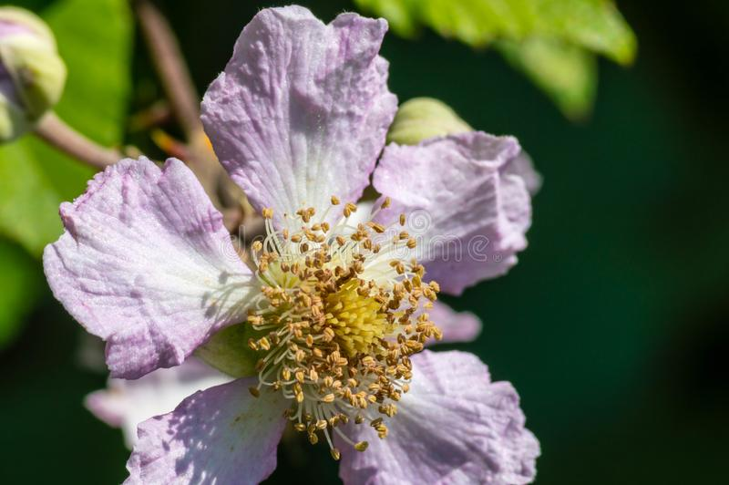 Blackberry flower macro photography nature royalty free stock photo