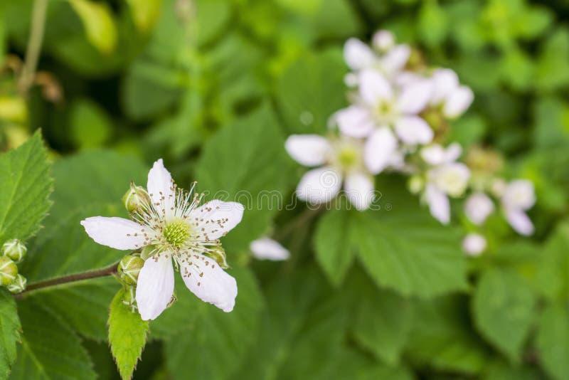 Blackberry flower royalty free stock photos