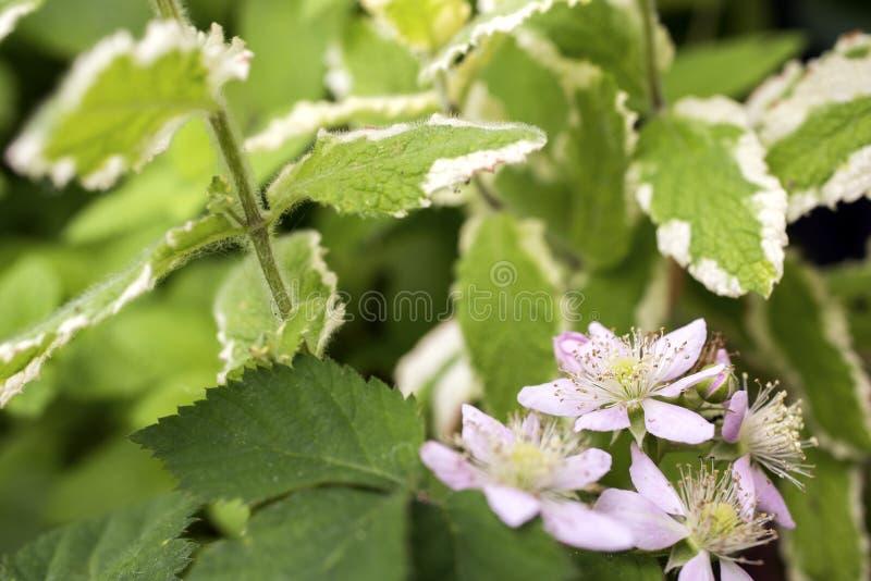 Blackberry flower royalty free stock images