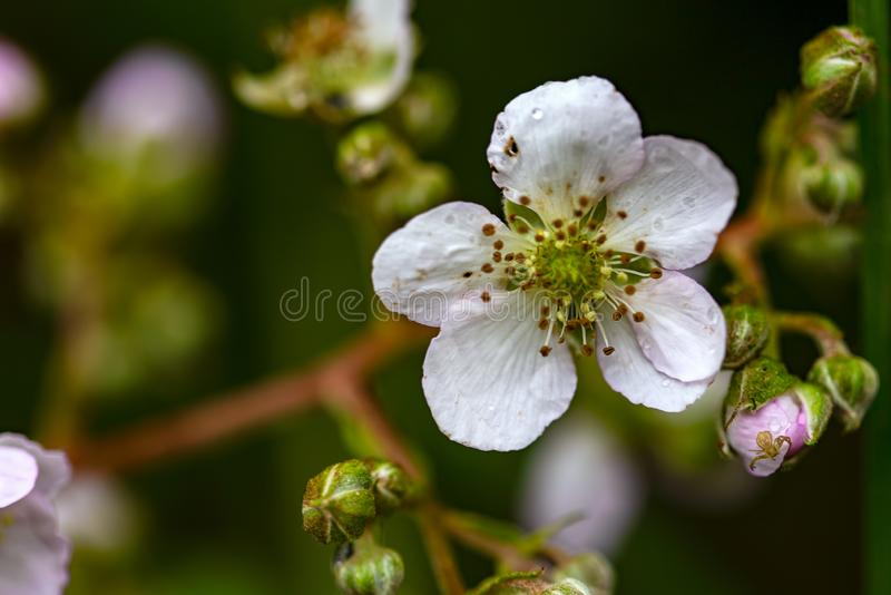 Blackberry flower and a spider. Macro photography of a blackberry flower. On the bud at low right there is a tiny crab spider. Captured at the Andean mountains stock images