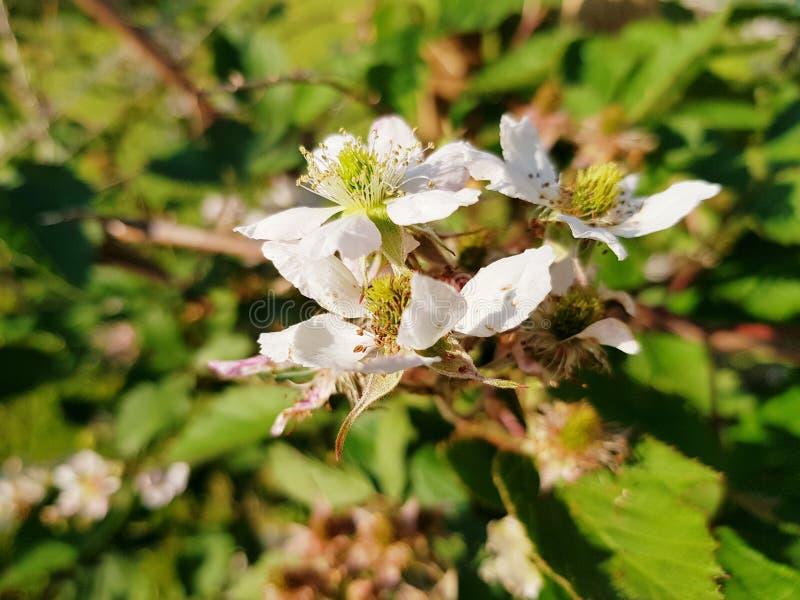 Blackberry flowers closeup. royalty free stock image