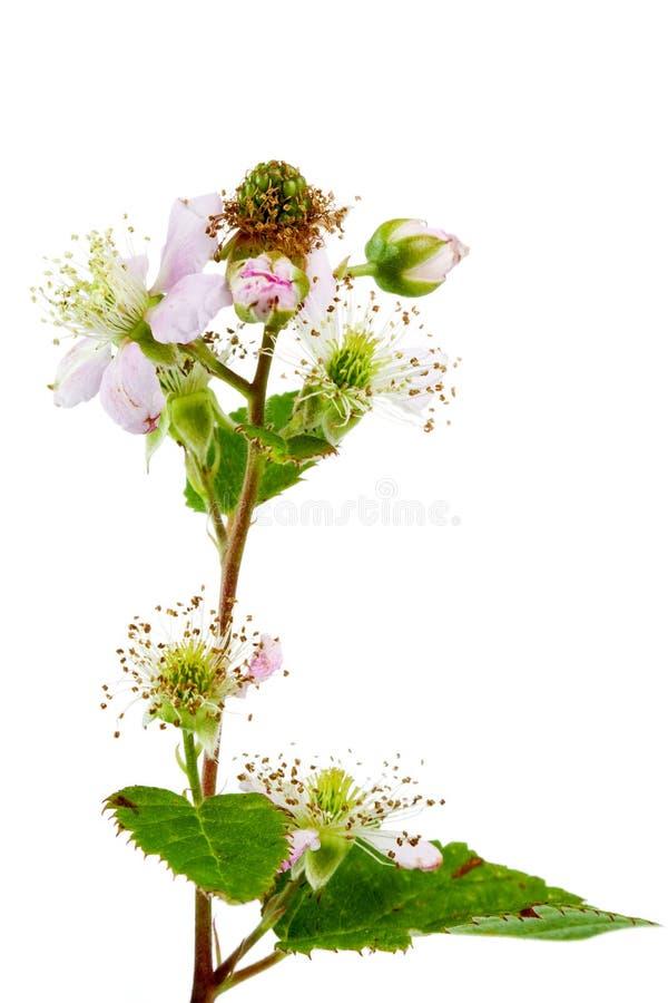 Download Blackberry Flowers, And Green Blackberries Stock Photo - Image: 5735260