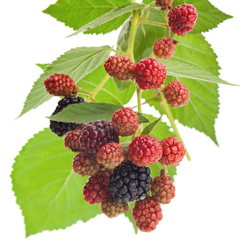 Blackberry-fruitbos met blad stock afbeelding