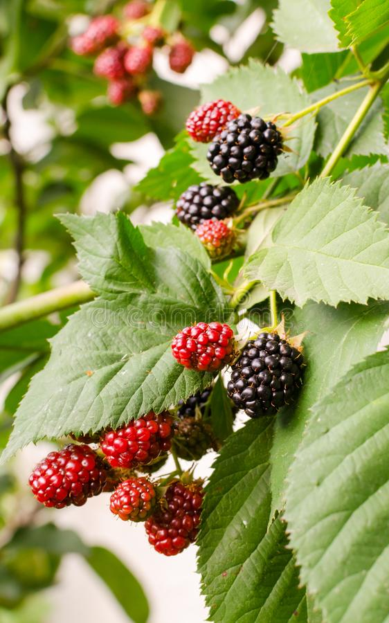 Blackberry growing in garden. Ripe and unripe blackberries on bush with selective focus.. Vertical frame royalty free stock images
