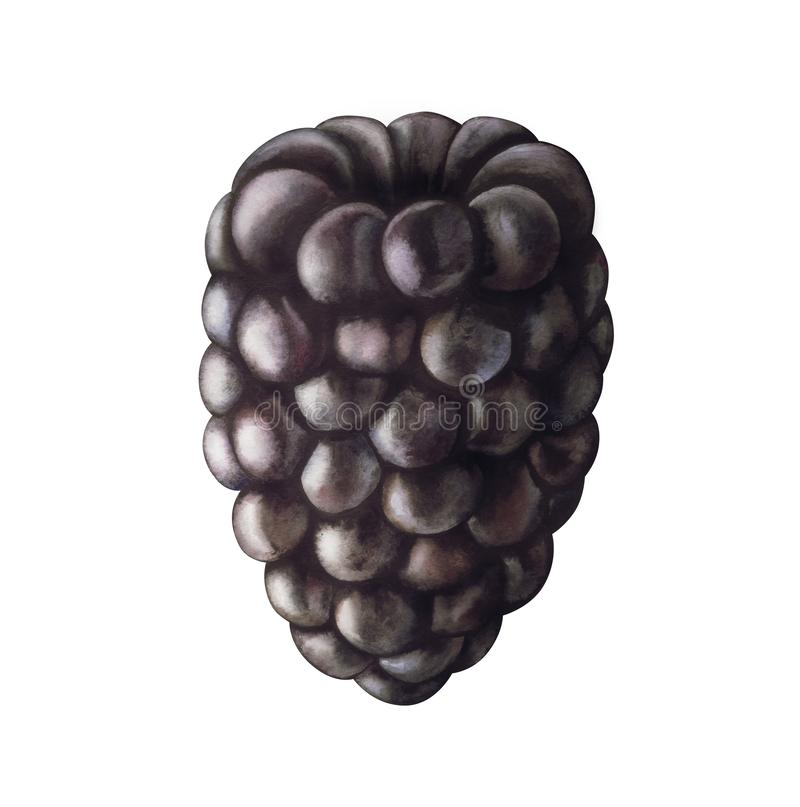 Blackberry isolated on white background. Watercolor illustration. Realistic blackberry isolated on white background. Hand drawn watercolor illustration royalty free illustration