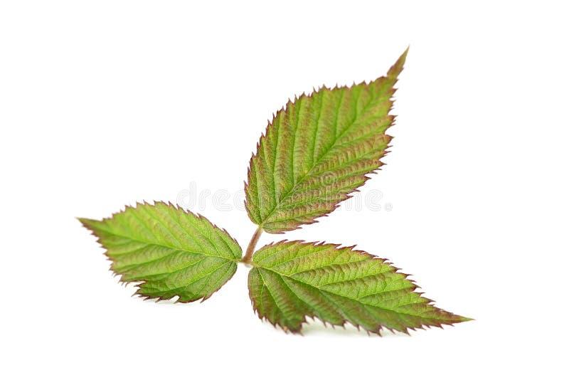Blackberry Leaf Stock Photography