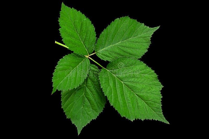 Blackberry fruit leaf closeup royalty free stock images