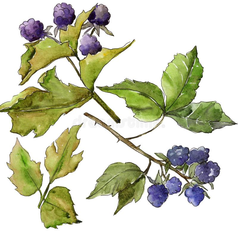 Blackberry leaves in a watercolor style isolated. vector illustration