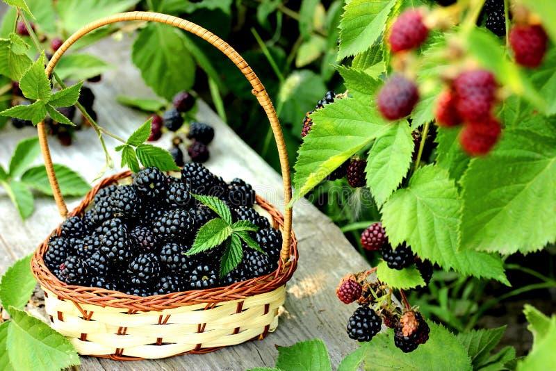 Blackberry na koszu w lato ogródzie zdjęcia royalty free