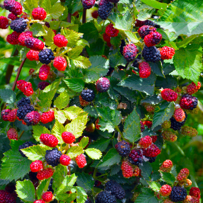 Blackberry plant. royalty free stock photography