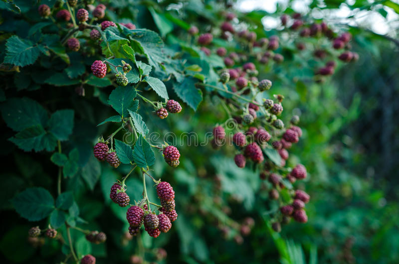 Blackberry plant. Rubus fruticosus- blackberry branches with fruits and leaves royalty free stock photography