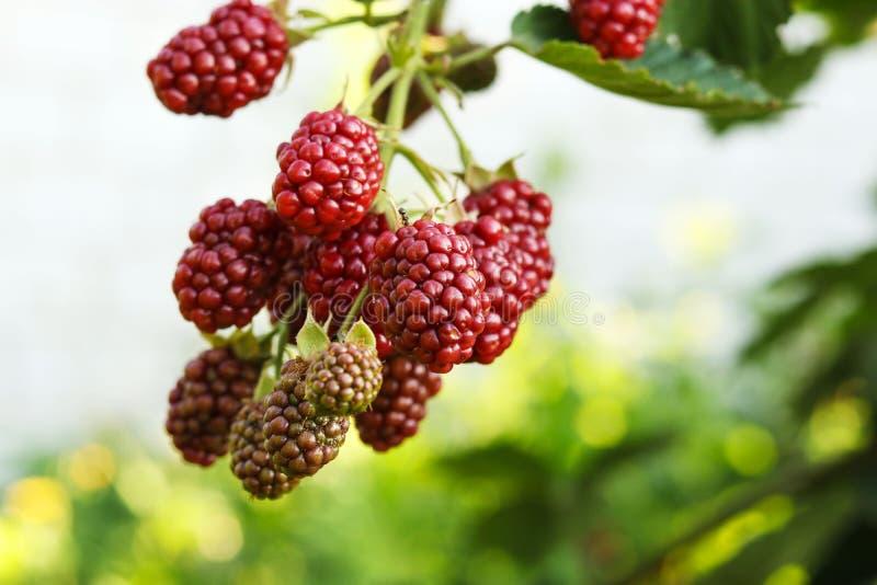 Blackberry que amadurece em arbustos no jardim foto de stock