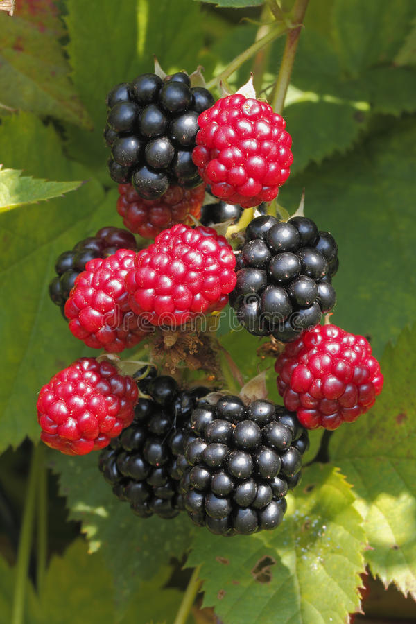 Blackberry (Rubus de sectio de Rubus) photo stock