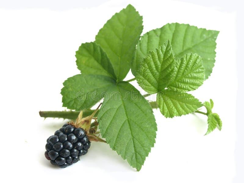 Blackberry (Rubus fruticosus) royalty free stock photo