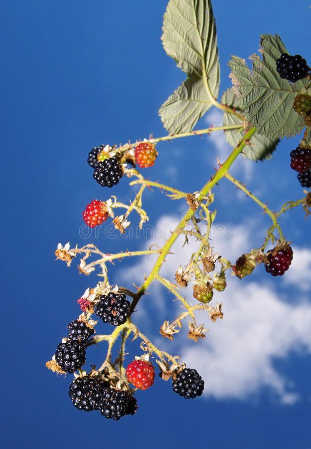 Download Blackberry And Sky Stock Photo - Image: 187140