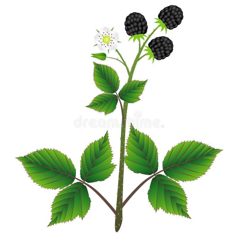 Blackberry växt med sidor, bär och blomma som isoleras på vit bakgrund vektor illustrationer