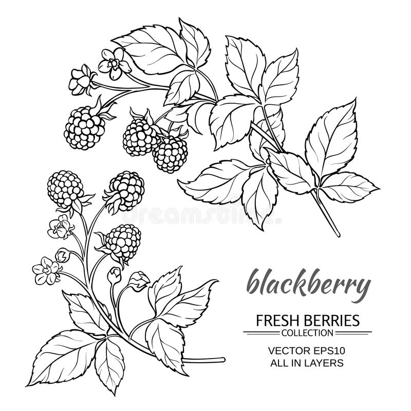 Blackberry vektoruppsättning stock illustrationer
