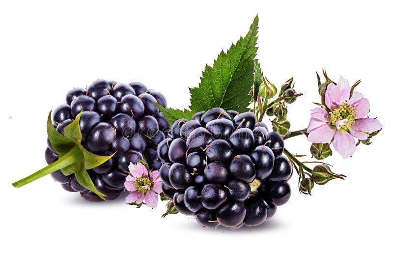 Blackberry y flor y follaje de la zarzamora fotografía de archivo libre de regalías