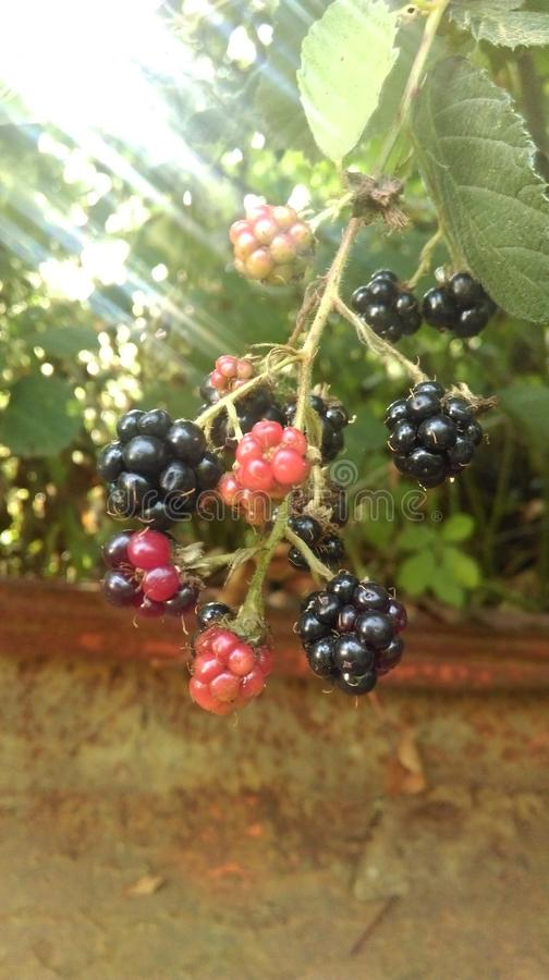 Download Blackberrys Stock Photo - Image: 83709881