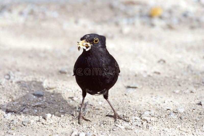 Download Blackbird stock image. Image of nutrition, fowl, desert - 24592211