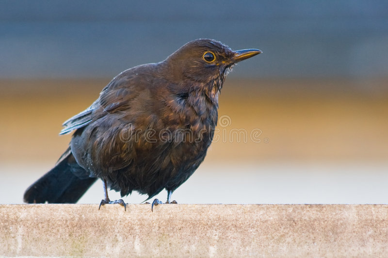 Blackbird. After taken a bath in the morning stock image