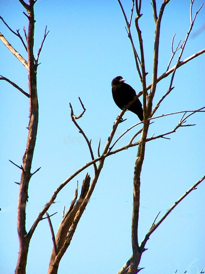 Download Blackbird Stock Image - Image: 87771