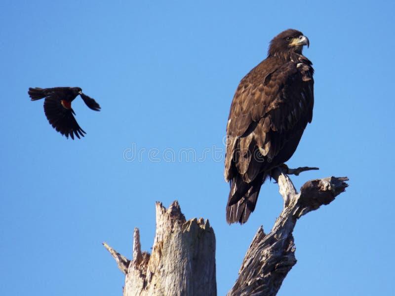 Blackbird attacks young eagle. Red-winged blackbird attacks fledgling bald eagle royalty free stock photo
