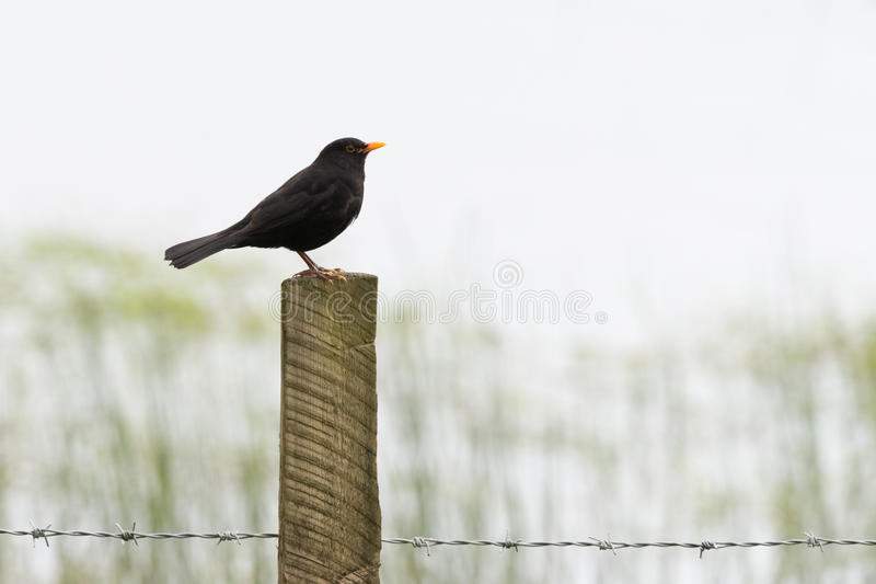 Blackbird On Barbed Wire Fence Post Stock Photo - Image of ...