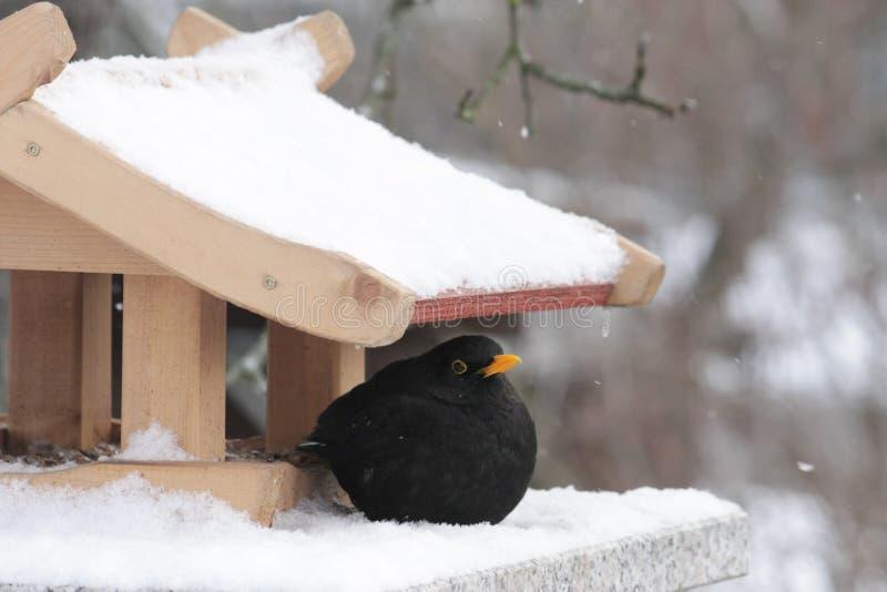 Blackbird and bird feeder. In snow in wintertime stock image