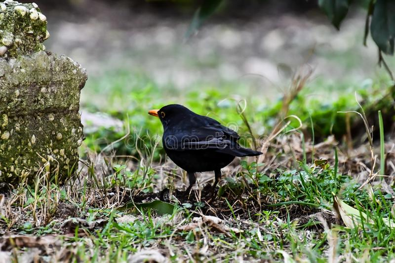 Blackbird on a branch, photo as a background. Digital image royalty free stock image