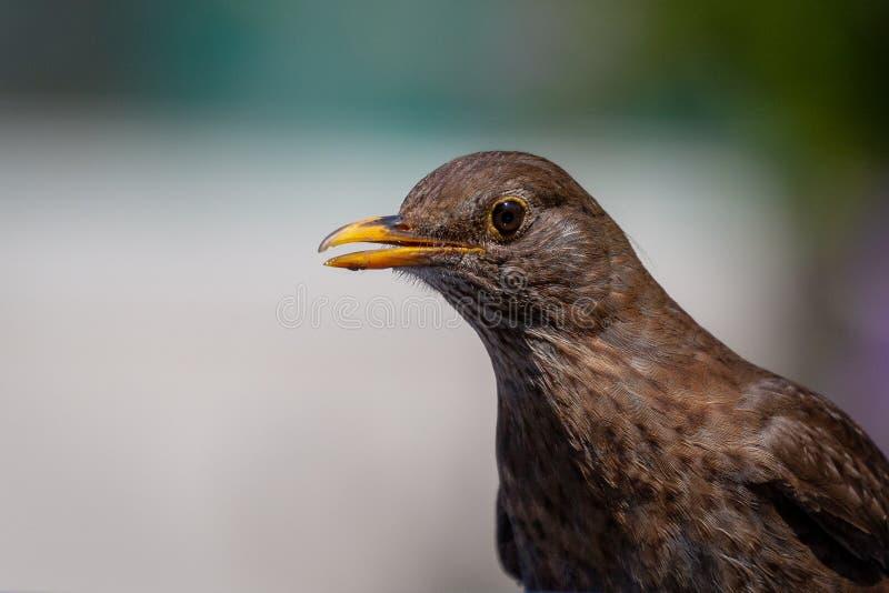 Blackbird chick. Common Blackbird chick Turdus merula stock images