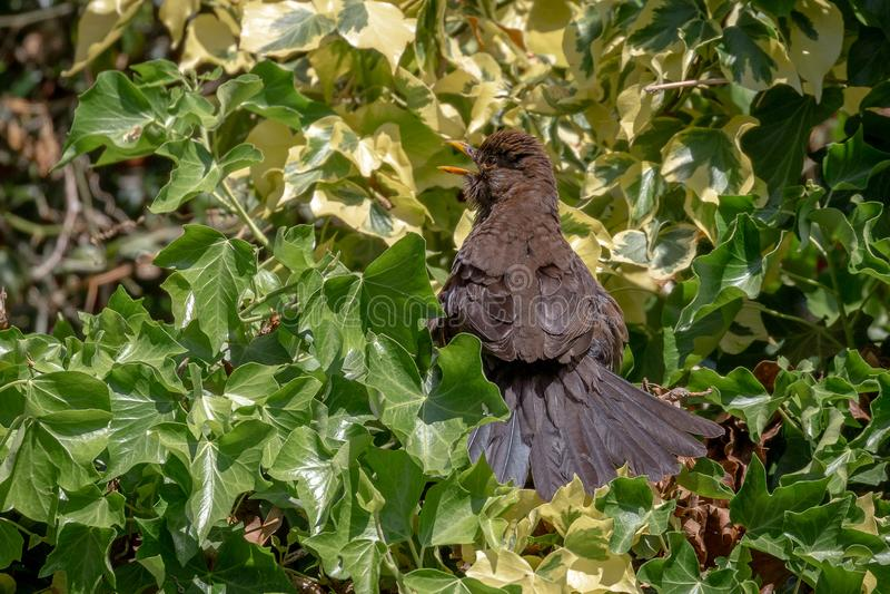Blackbird chick. Common Blackbird chick Turdus merula royalty free stock photography