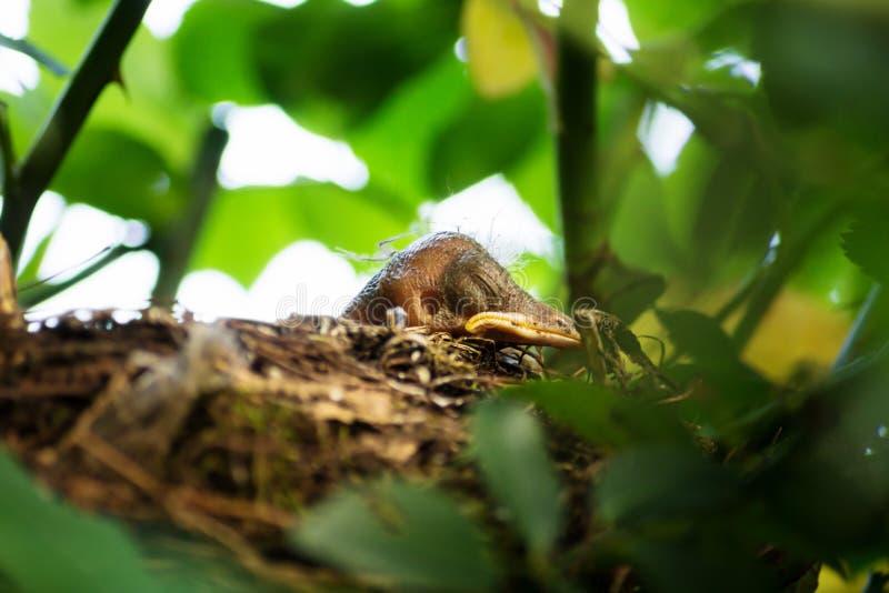 Blackbird chick in a hidden nest, Salzburg, Austria. Newborn Blackbird chick in a hidden nest, Salzburg, Austria stock images