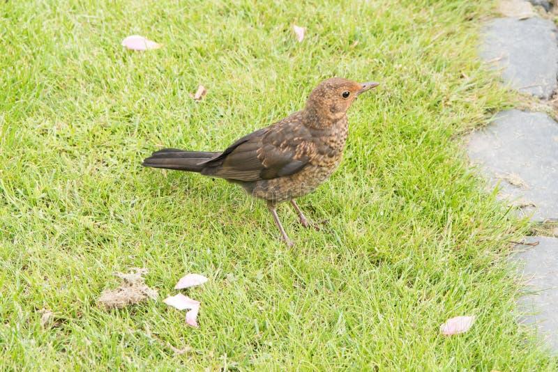 Blackbird chick stock photo