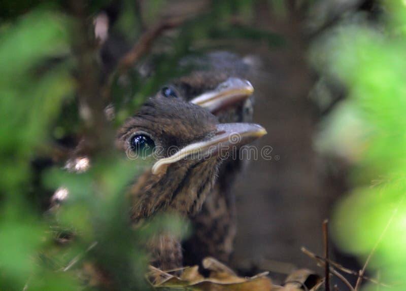 Blackbird Chicks. Two Blackbird Chicks still in nest royalty free stock photography