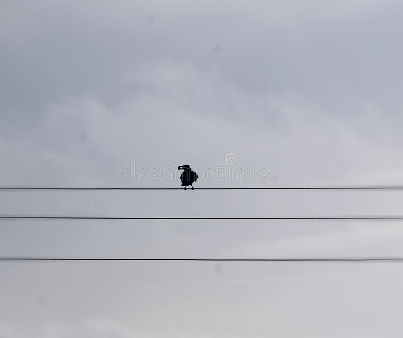 Bird on a Wire. Blackbird or Crow perched on a telephone wire with a grey sky. Silhouetted bird with its catch stock photography