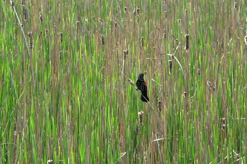 Blackbird Czerwony Skrzydlaty Stwór Obrazy Royalty Free