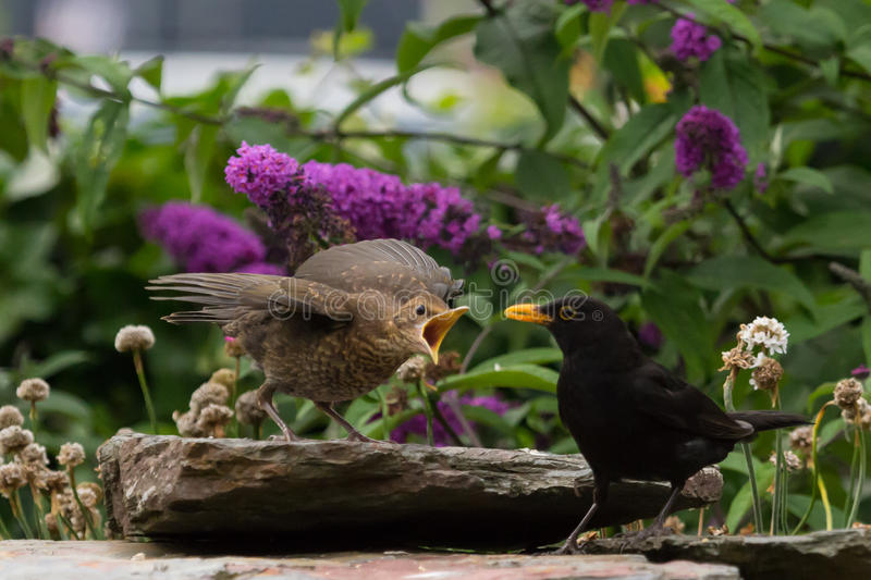 Blackbird feeding fledgling. A male blackbird is feeding it's fledgeling in the garden. The bird is very cautionous since there is a cat in the neighbourhood stock image